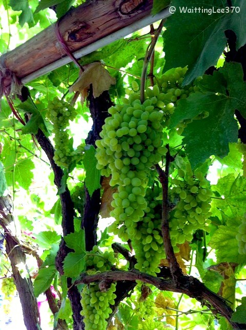 China 6. Xinjiang Turpan Grapes.