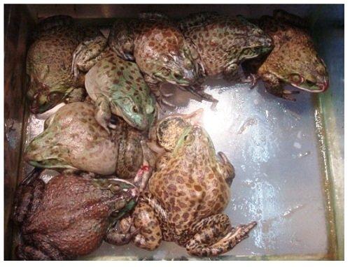 China Food Supermarket Bullfrog.